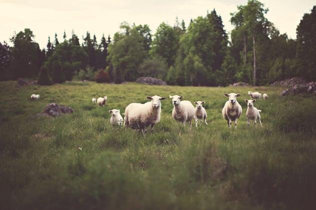 champ mouton